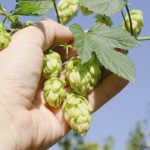 Hops Plant Harvesting - When And How To Harvest Hops In Gardens