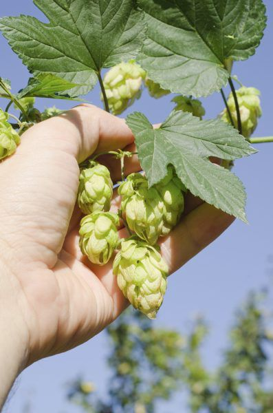Hops Plant Harvesting – When And How To Harvest Hops In Gardens